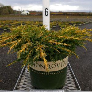Juniper bush & spreader